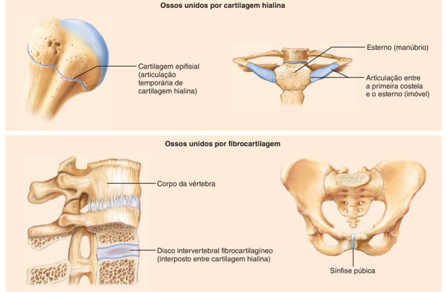 Articulações cartilagíneas - sistema esquelético