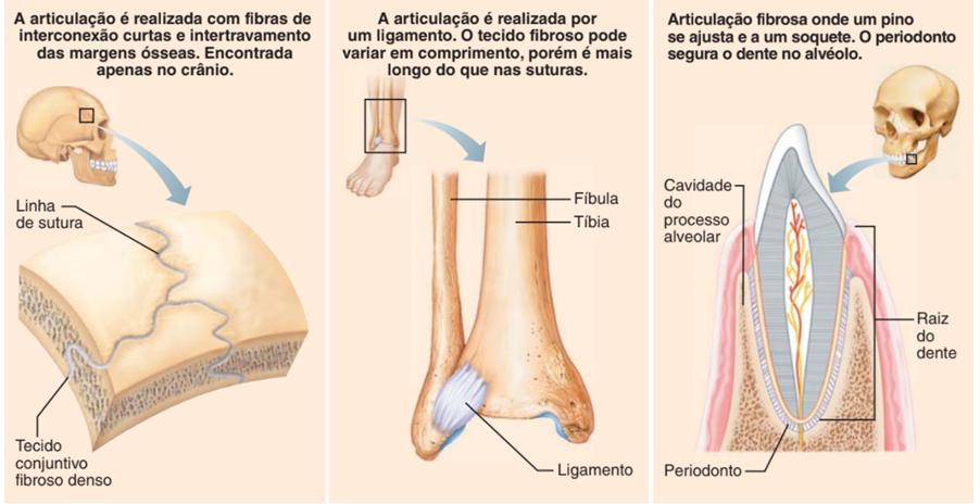 Articulações fibrosas - sistema esquelético