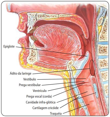 Cavidade da laringe - sistema respiratório