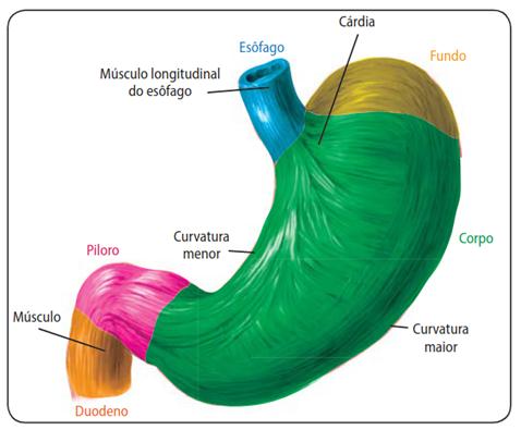 Estômago - Sistema digestório