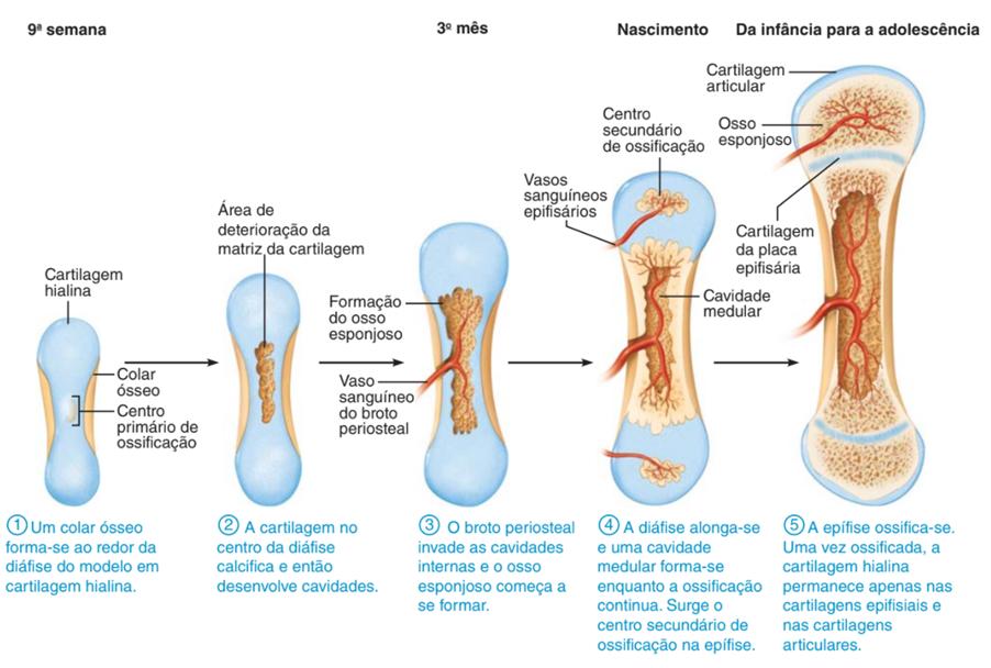 Etapas de formação do esqueleto