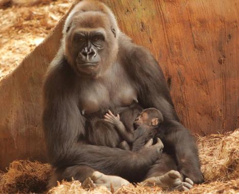 Gorila - mamíferos