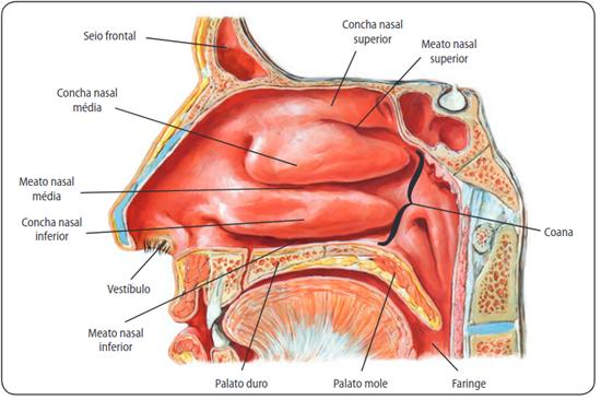 Ilustração da cavidade nasal
