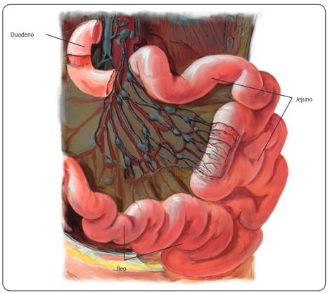 Intestino delgado - Sistema digestório
