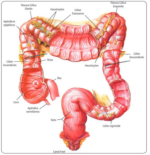 Intestino grosso - Sistema digestório