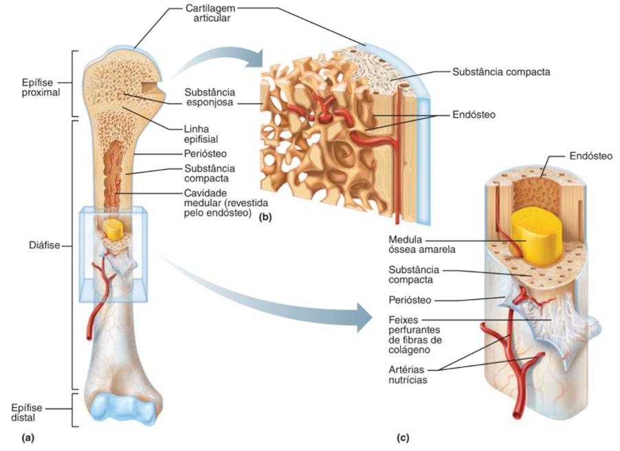 Medula óssea - sistema esquelético
