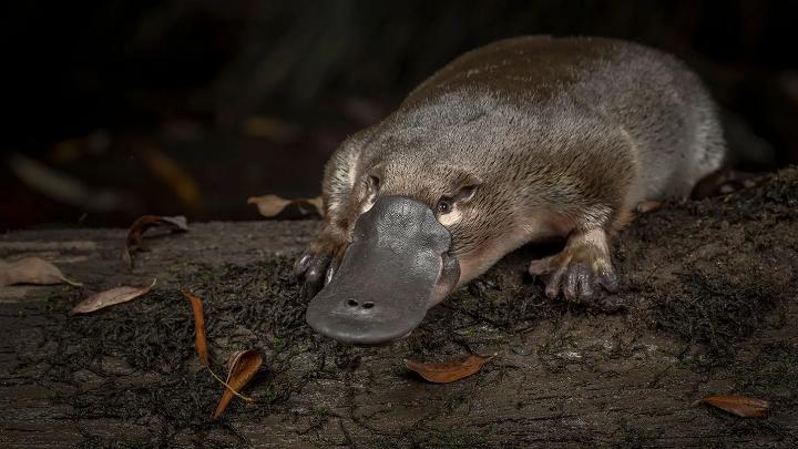 Ornitorrinco - mamíferos