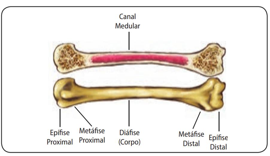 Osso longo - sistema esquelético