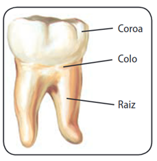Partes de um dente