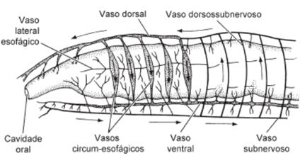 Anelídeos - sistema circulatório