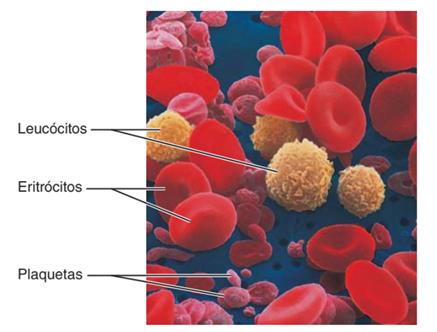 Células do sangue - leucócitos, eritrócitos e plaquetas