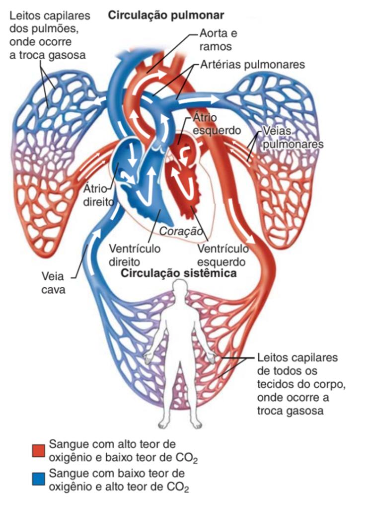 Circulação pulmonar e sistêmica - sistema cardiovascular