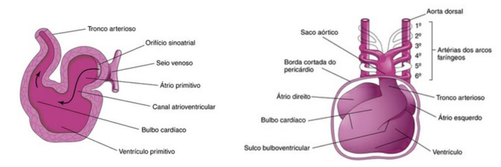 Formação do coração - sistema cardiovascular