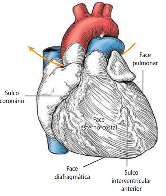 Partes do coração