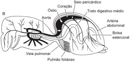 Sistema circulatório de uma aranha