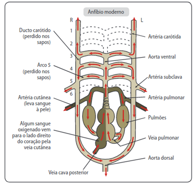 Sistema circulatório dos anfíbios