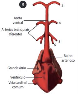 Sistema circulatório dos peixes