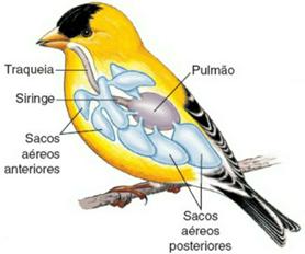 Sistema respiratório de uma ave