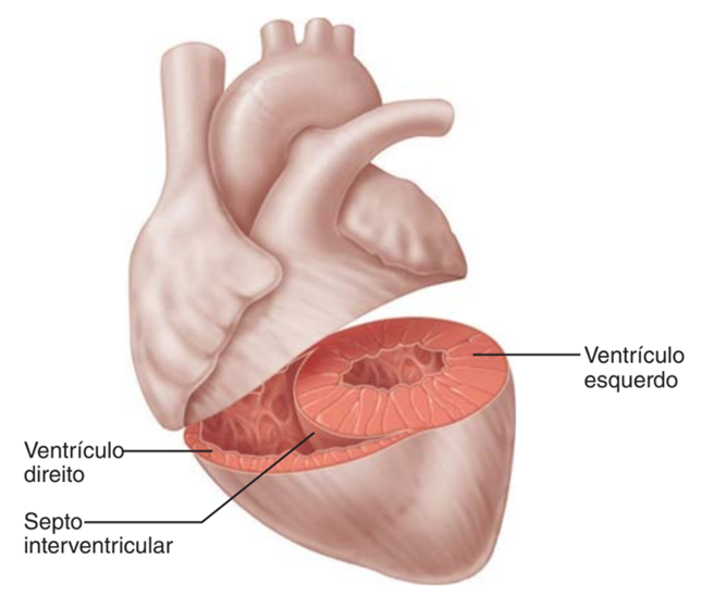 Ventrículos - sistema cardiovascular